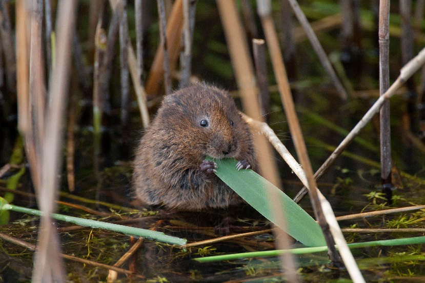 Water vole feeding on reeds.